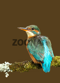 Common Kingfisher perching on a mossy branch