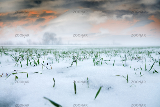 Winter wheat under the first snow.