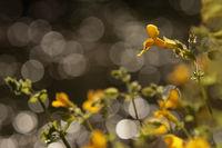 Gauklerblume (Mimulus)