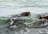 Schwimmender Galapagos Seelöwe (Zalophus wollebaeki), Insel Isabela, Galapagos Inseln, Ecuador