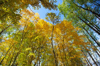 Sky view through the trees of a forest in autumn.