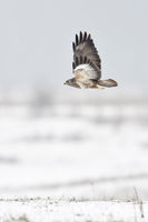 Mäusebussard * Buteo buteo * im Flug über verschneite Wiesen und Felder am Niederrhein