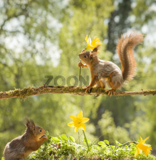 red squirrels on a branch holding narcissus