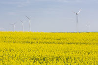 Blühendes Rapsfeld mit Windrädern in Ostdeutschland
