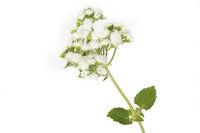 Leberbalsam (Ageratum houstonianum) auf weißem Hintergrund