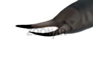 Earwigs (Dermaptera) ultra close-up portrait
