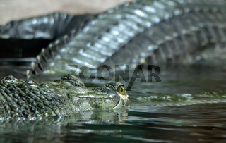 Head of Gavial Indian - Gavialis gangeticus floats on water