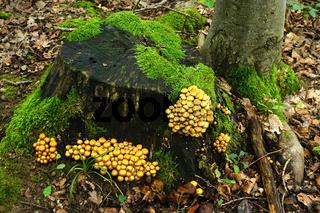Stockschwämmchen, Kuehneromyces, two-tone woodtuft