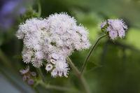 Gewöhnlicher Leberbalsam (Ageratum houstonianum)