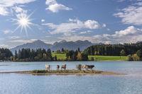 Kuhherde steht auf einer Insel im Forggensee