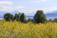 Bodenseeblick, Landschaftsbild, Rapsfeld im Vordergrund