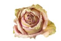 Vertrockneter Rosenkopf auf weißem Hintergrund