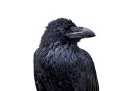 Portrait of common raven (Corvus corax) isolated on a white background