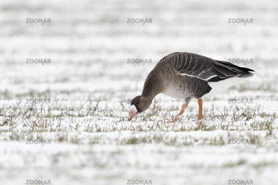 bei der Äsung... Blässgans *Anser albifrons* auf einem schneebedeckten Feld