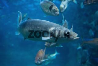 Fishes swimming in large seawater aquarium.