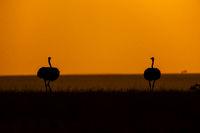 Pair of Ostrich, Struthio camelus, Silhouette in golden sky, Maasai Mara, Kenya, Africa.