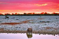 Spitzmaulnashorn am Wasserloch mit Abendhimmel, Etosha-Nationalpark, Namibia, (Diceros bicornis) | Black rhino with evening sky, Etosha National Park, Namibia, (Diceros bicornis)