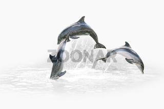 Three Dolphin jumping