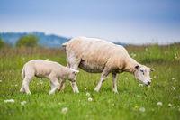 Texel ewe, newborn lamb sheep in lush green meadow in Spring Time.