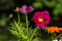 Red and orange cosmos flower with blurred background