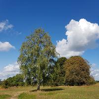 Landschaft mit Birke im Spätsommer