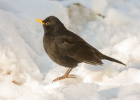 Common blackbird standing in the snow