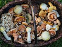 Korb mit verschiedenen Speisepilzen