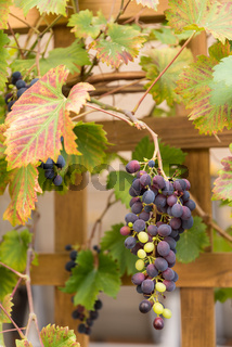 Rote und grüne Weintrauben an einer Traube - herbstliche Weinrebe am Spalier