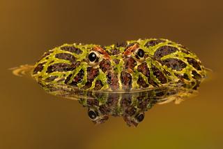 Verzierter Hornfrosch (Ceratophrys ornate)