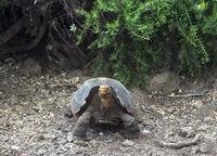 Galapagos-Riesenschildkröte (Geochelone nigra hoodensis), Insel Santa Cruz, Galapagos Inseln,Ecuador
