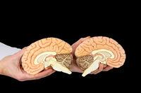 Hands holding model human brains on black background