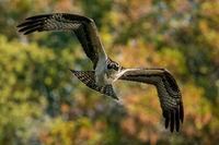 Osprey Flight VI