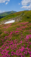 Blossoming slopes (rhododendron flowers ) of Carpathians.