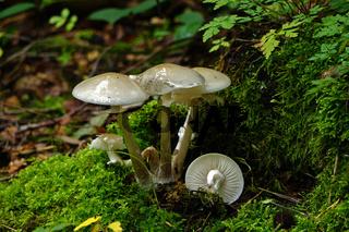 Knollenblätterpilz, Amanita phalloides, amanita, death cap