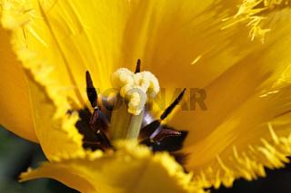 gelbe Tulpenblüte