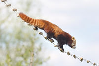 Red panda high up in the trees