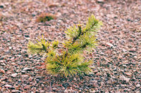 Small trees in fog and dew, pine undergrowth