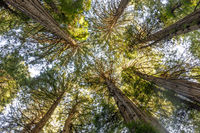 Old Growth Coast Redwood Trees Canopy