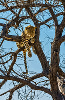 Contented leopard resting on a tree