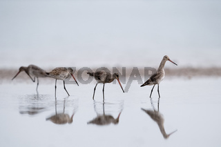 black tailed godwit in water