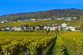 Weinberge der Gemeinde Mont-sur-Rolle in Herbstfarben,Weinbaugebiet La Côte, Mont-sur-Rolle,Schweiz