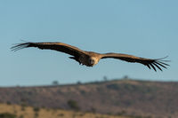 African white-backed vulture soars above grassy hills