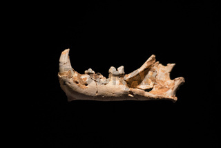 Prehistoric fossil, left mandible of European jaguar on black isolated background, 1 million years old.