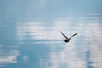 Lonely Duck Flying Over a Calm Blue Lake