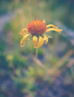 Dying Yellow Daisy Flower