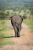 African bush elephant on road from behind
