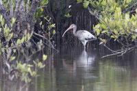young American white ibis that walks in the shallow water of mangroves of the Zapata Peninsula