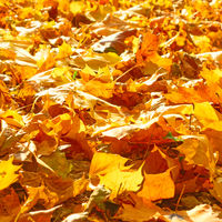 Yellow fallen leaves