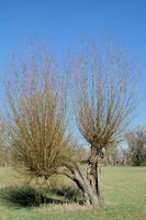 Korbweide (Salix viminalis) im Rheinland,Deutschland