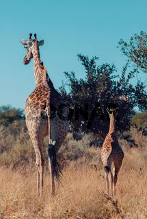 giraffe with calf, Africa wildlife safari